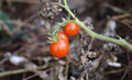 Small tomato on trees grown in garden Royalty Free Stock Image