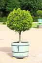 Small topiary tree in the pot Royalty Free Stock Photo