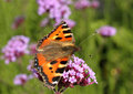 Small tortoise shell butterfly Stock Photo