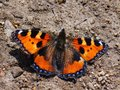 Small tortoiseshell Royalty Free Stock Photography