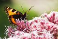 Small tortoiseshell or Aglais urticae Royalty Free Stock Photo
