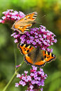 Small tortoiseshell or aglais urticae butterflies on purple verbena flowers in summer Royalty Free Stock Images