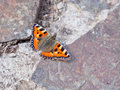 Small tortoiseshell aglais urticae a grounded butterfly Stock Photos
