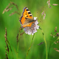Small tortoiseshell aglais urticae on a meadow Royalty Free Stock Image