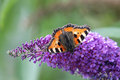 Small tortoiseshell aglais urticae sitting on the blossom of a butterly bush Royalty Free Stock Photo