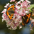 Small tortoiseshell butterflies on feeding syringa flowers in summer Royalty Free Stock Photos