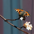 Small Tortoiseshell butterfly (Aglais urticae) Royalty Free Stock Photos
