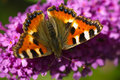 Small tortoiseshell on butterfly bush Stock Images
