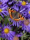 Small tortoiseshell butterfly a latin name aglais urticae feeding on colorful purple and yellow aster flowers Stock Photography