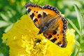 Small tortoiseshell butterfly on marigold flower Stock Image