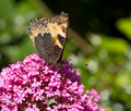 Small Tortoiseshell butterfly underwing Stock Images