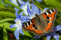 Small tortoiseshell meets siehe s glory of the snow a wonderful colored butterfly aglais urticae sucking nectar from chionodoxa Royalty Free Stock Photos
