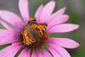 Small tortoiseshell on a rudbeckia flower Stock Photos