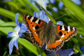 Small tortoiseshell and siehe s glory of the snow wonderful colored butterfly aglais urticae sucking nectar from chionodoxa Stock Photography