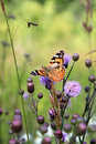 Small tortoiseshell upon thistle flower in Italy Stock Image