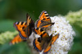 Small tortoiseshell three butterflies sitting on a white flower Royalty Free Stock Photo