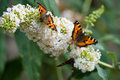 Small tortoiseshell three butterflies sitting on a white flower Royalty Free Stock Images