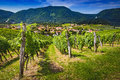 Small town through vineyards. Slovenske Konjice seen trough vines from vinery Zlati gric