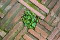 Small tree on brick sidewalk Royalty Free Stock Photo
