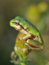 Small tree frog Hyla arborea is sitting on flower Royalty Free Stock Photo