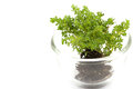 Small tree in glass cup white background insolate Royalty Free Stock Photos