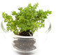 Small tree in glass cup white background insolate Stock Images