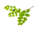 Small twig with green leaves isolated on white background Royalty Free Stock Photo