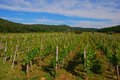 Small vineyard in vrbnik croatia between road at the entrance to Royalty Free Stock Image