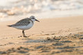 Small wading bird with fishing line tangled around its paws a lead and on the beach seashore blurred in background Stock Photography