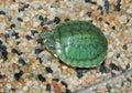 Small waterfowl, green turtle