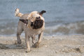 Small wet dog on a beach pug mops carlino Royalty Free Stock Photo