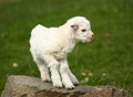 Small white baby goat kid outside rock Royalty Free Stock Images