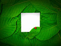 Small white blank sheet among the green leaves of the chestnut Royalty Free Stock Photo