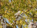 Small white blossoms on a branch Royalty Free Stock Photo
