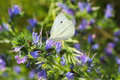 The small white on the blueweed Royalty Free Stock Photo