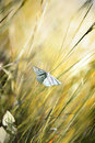 The Small White butterfly. Royalty Free Stock Image