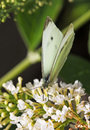 A Small White Butterfly Perche...