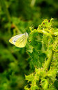 Small white butterfly, (Pieris rapae) Royalty Free Stock Photo