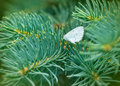 Small white butterfly on pine tree coniferous Royalty Free Stock Photo