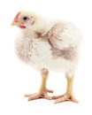 Small white chicken. Royalty Free Stock Photo