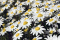 Small white daisies Royalty Free Stock Photography