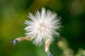A small white dandelion on a light green background. Macro Royalty Free Stock Photo