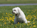 A small white dog with a big yawn little sit on the green grass in the park surrounded by yellow dandelions Stock Images