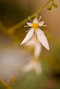 Small white flower bloom Royalty Free Stock Images