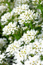 Small white flowers Royalty Free Stock Photos