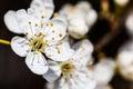 Small White Flowers Close Up Spirea Vanhouttei