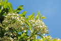 Small white flowers on tree Stock Photos