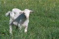 Small white goat chewing grass on a background of green Royalty Free Stock Image