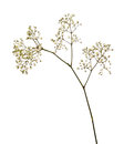 Small white gypsophila flowers Royalty Free Stock Photo
