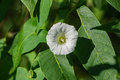 Small White Morning Glory Wildflower - Ipomoea lacunosa Royalty Free Stock Photo